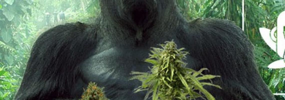 Gorilla Glue, сорт который изменил мир каннабыса.
